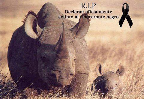 O rinoceronte-negro do oeste, uma subespécie tradicional da região ocidental africana, foi declarado oficialmente extinto.